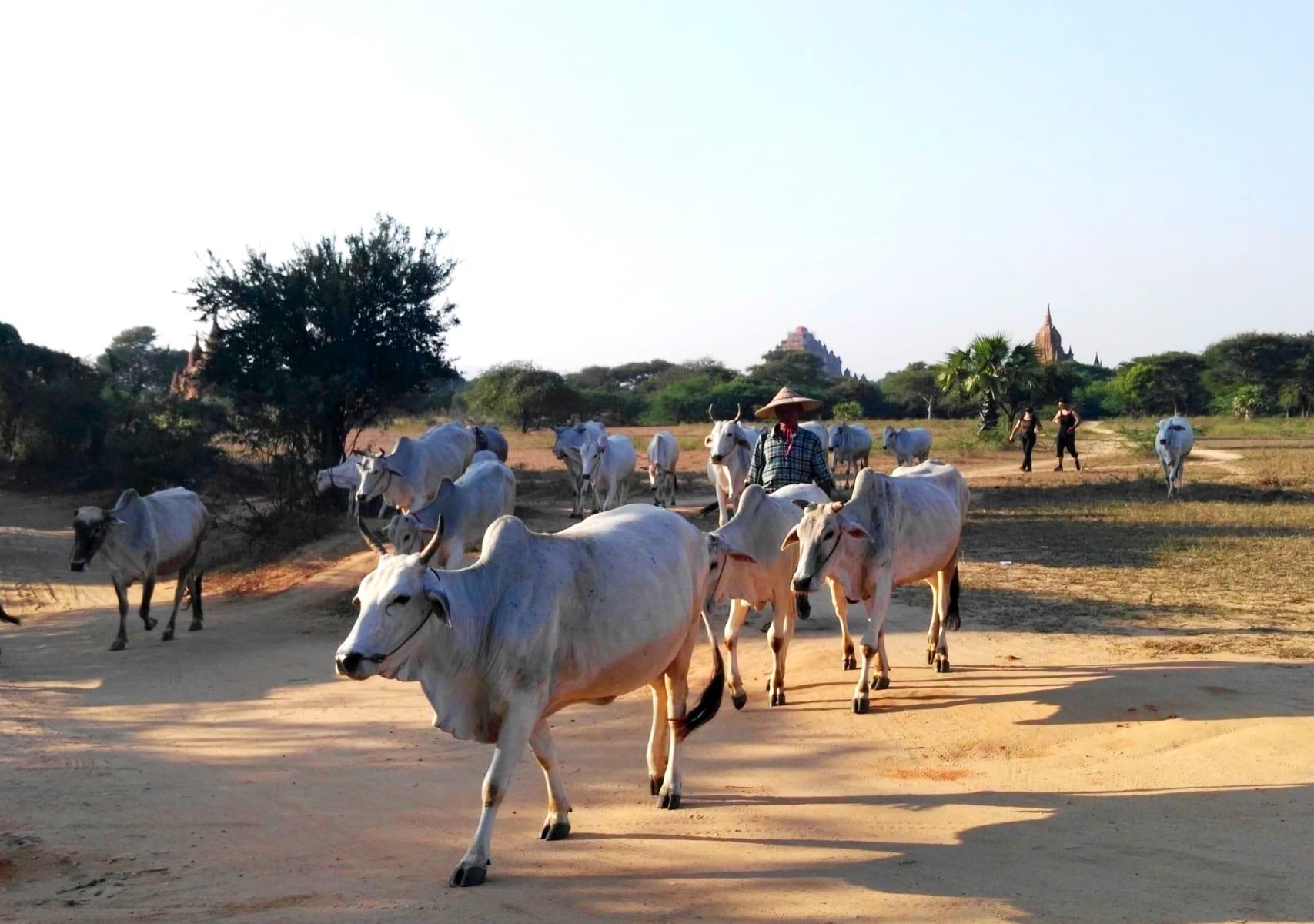 Večerní odvádění krav z pastvy, Bagan, Myanmar