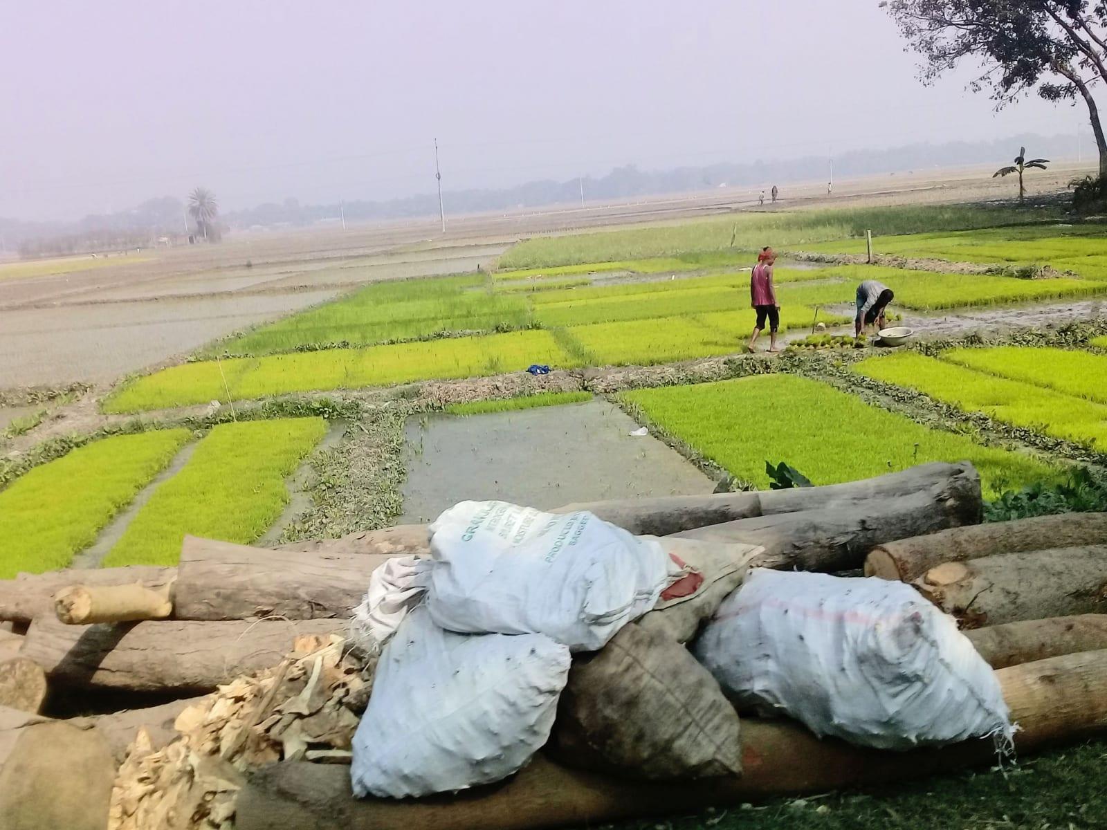 Rýžová pole, Bangladéš