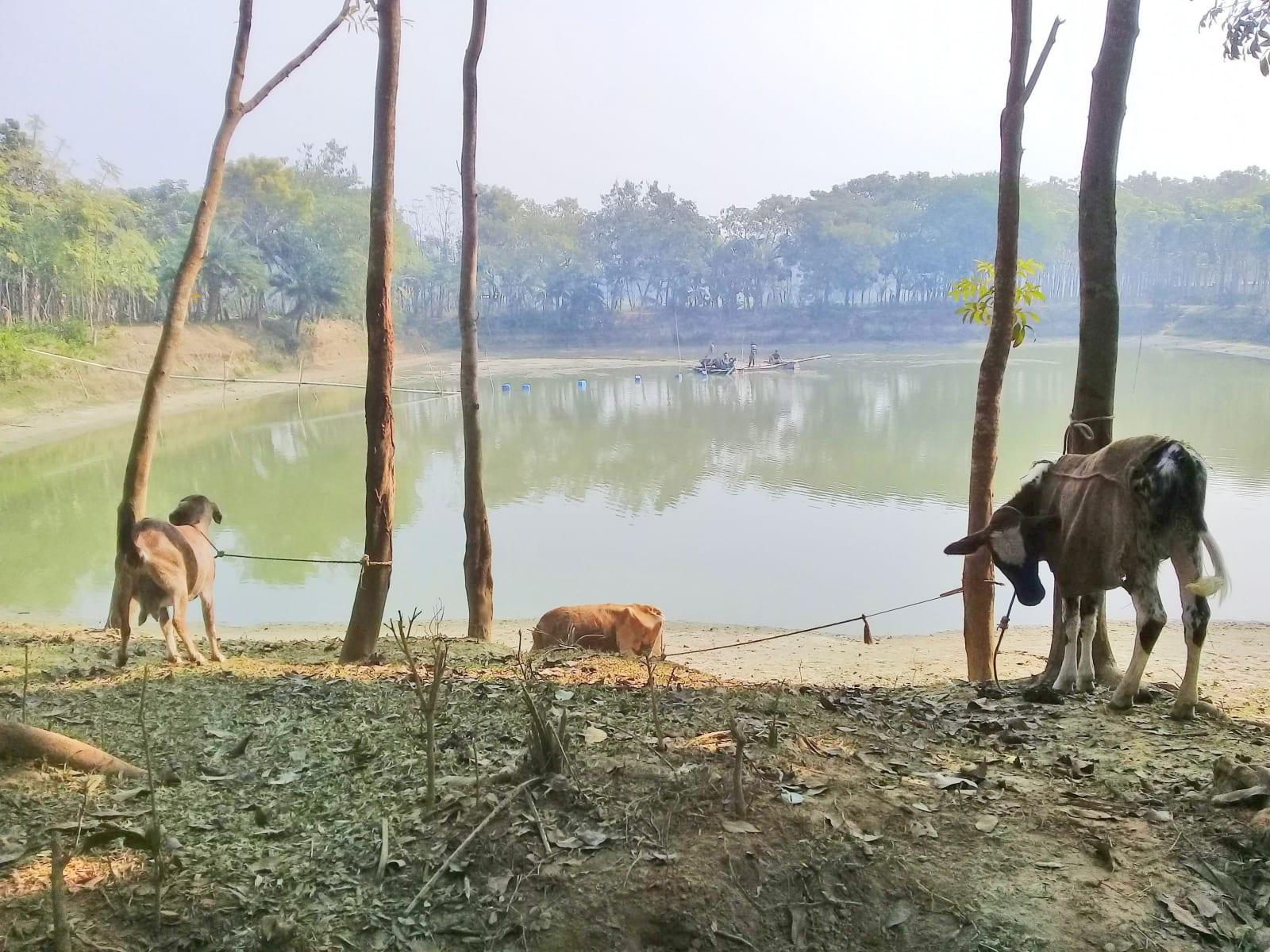 Vesničané občas chrání dobytek před ranním a večerním chladem, Bangladéš