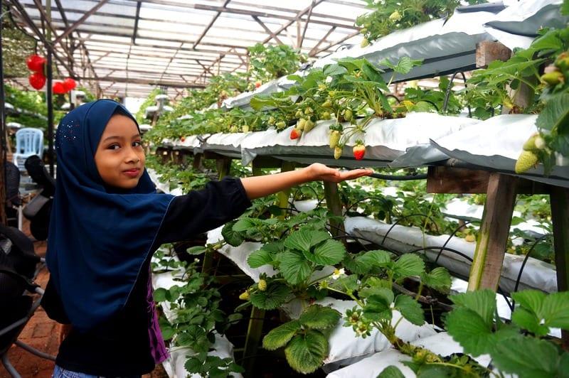 Jahodová farma, Cameron Highlands, Malajsie