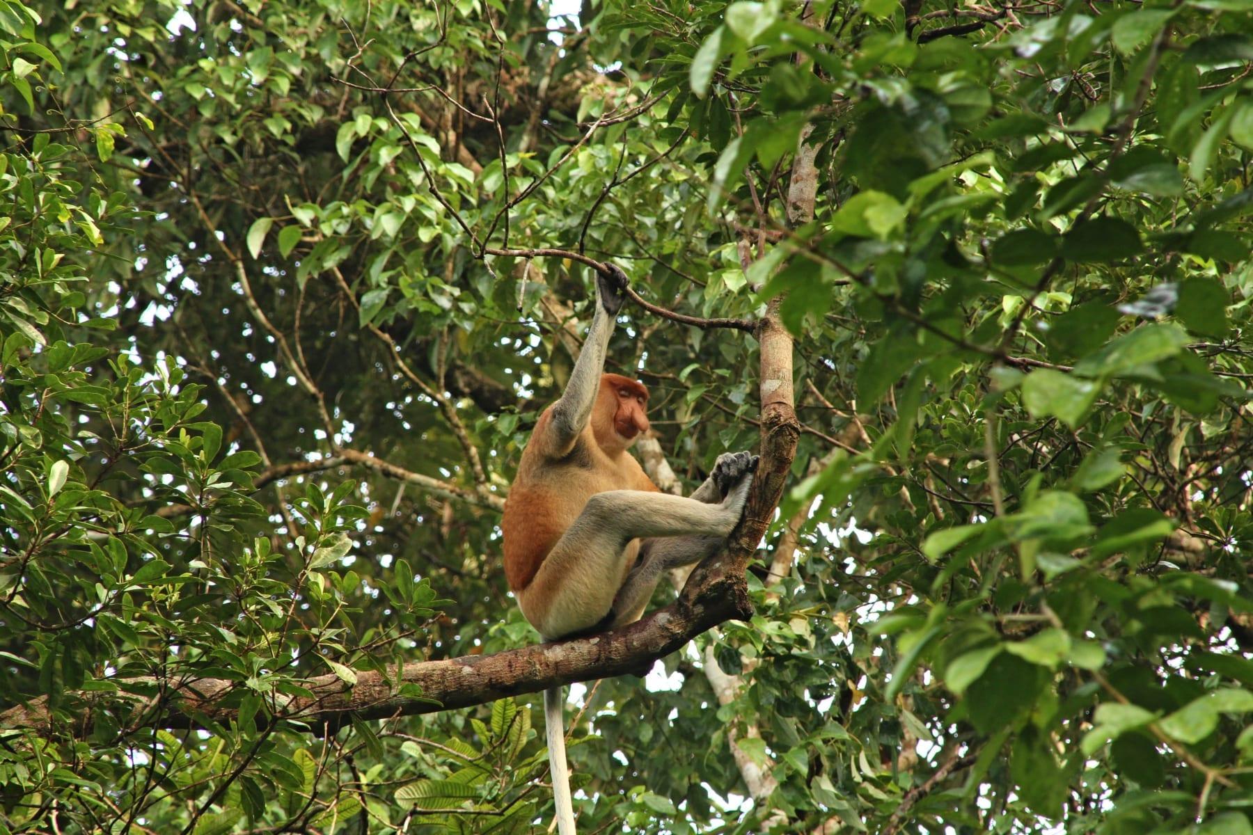 Kahau nosatý, Sabah, Malajsie (Borneo)