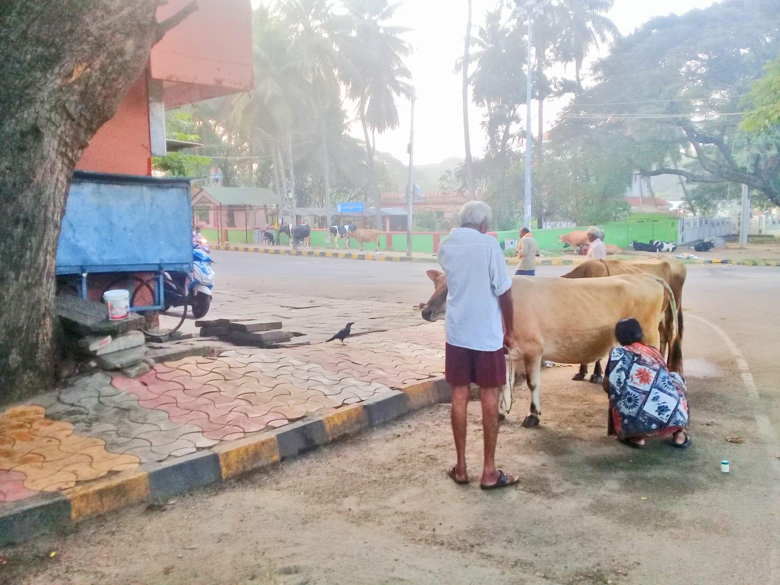V Indii se vyplatí si přivstat. S východem slunce se totiž můžete vychutnat neméně romantické dojení pouličních krav. Maisúr, Indie