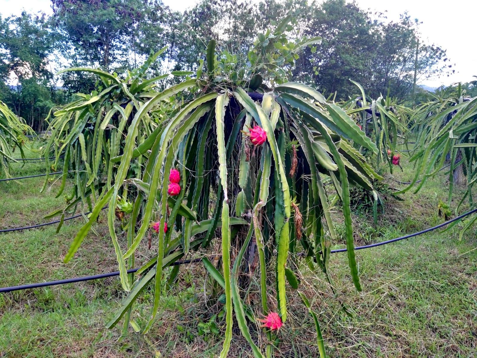 V The creek villa si můžete dopřát i čerstvé ovoce z jejich vlastní farmy, Loei, Thajsko