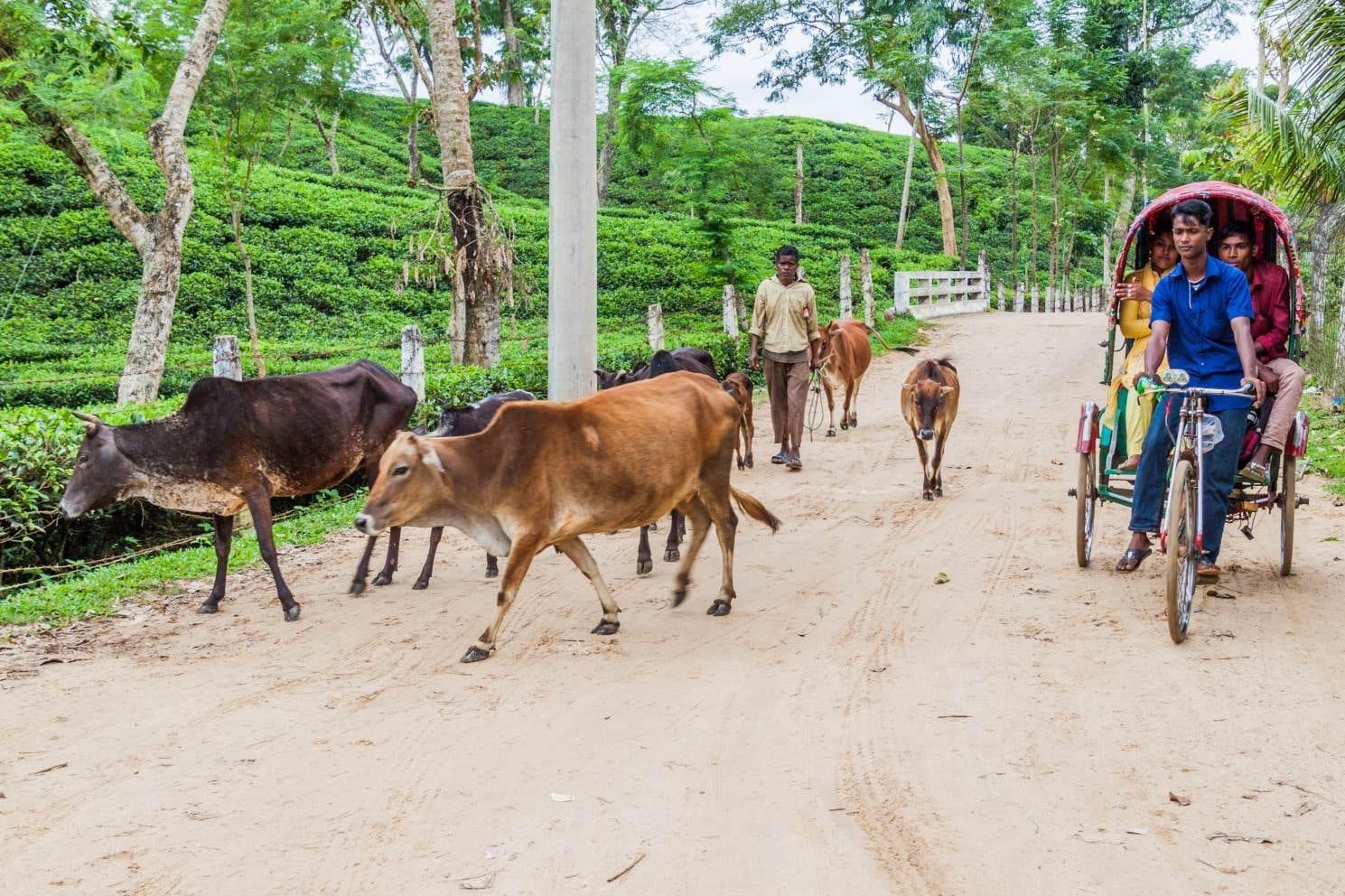 Čajová plantáž Zareen poblíž města Šrímangal, Bangladéš