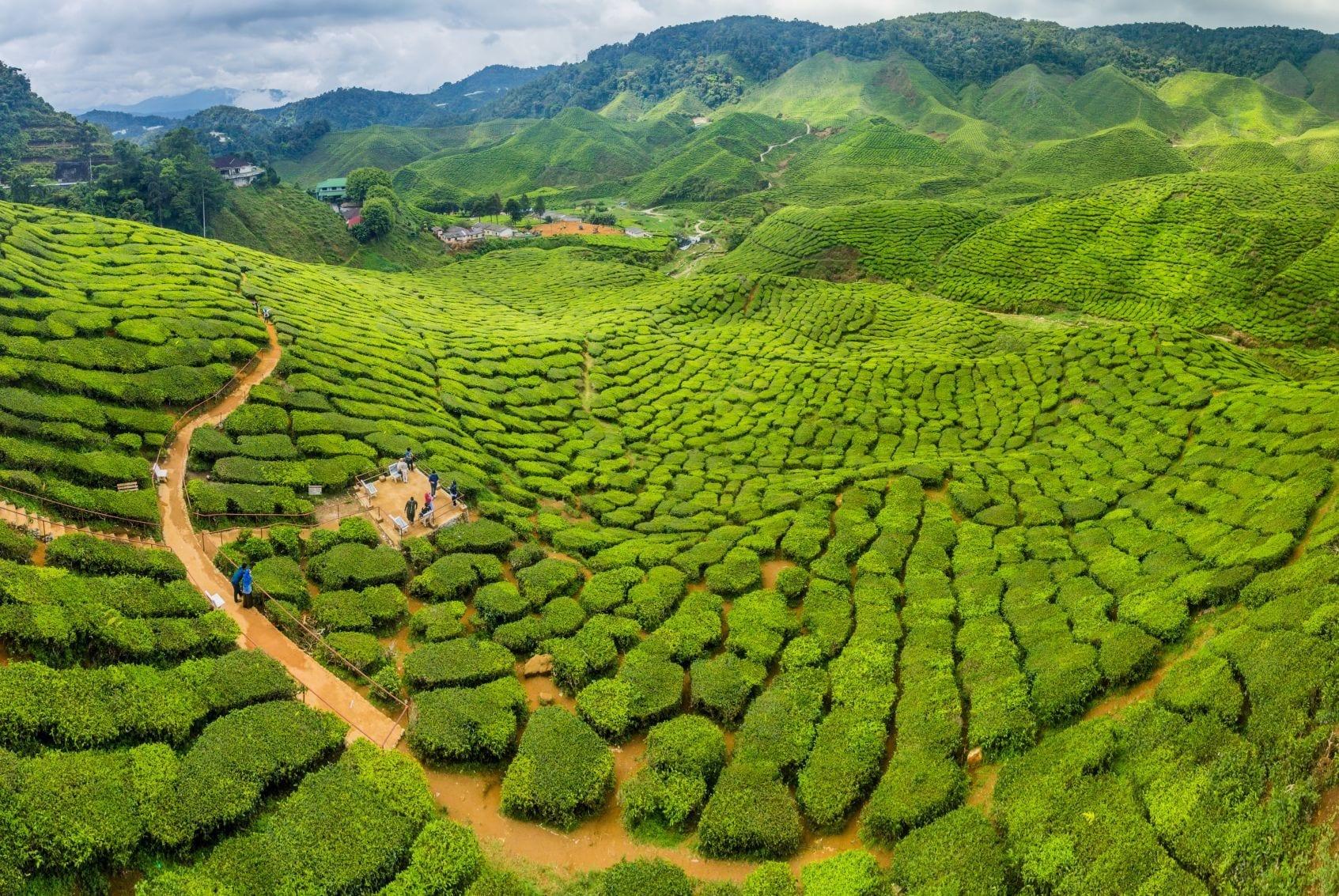Čajová plantáž v Cameron Highlands, Malajsie