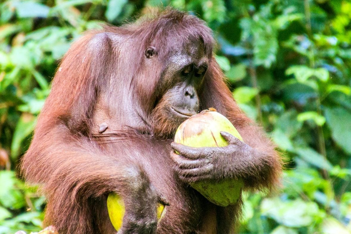 Záchranné centrum orangutanů, Sepilok, Borneo, Malajsie