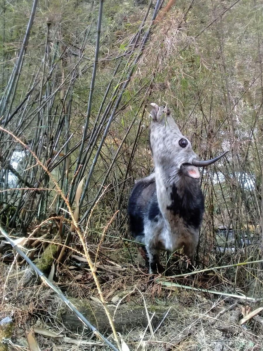 Kráva pochutnávající si na mladém bambusu, Nepál
