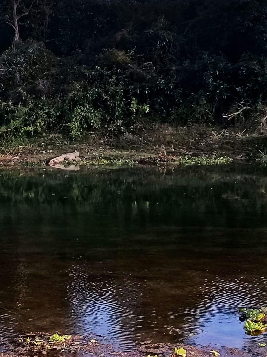 Krokodýl na břehu řeky v Sauraha, Nepál