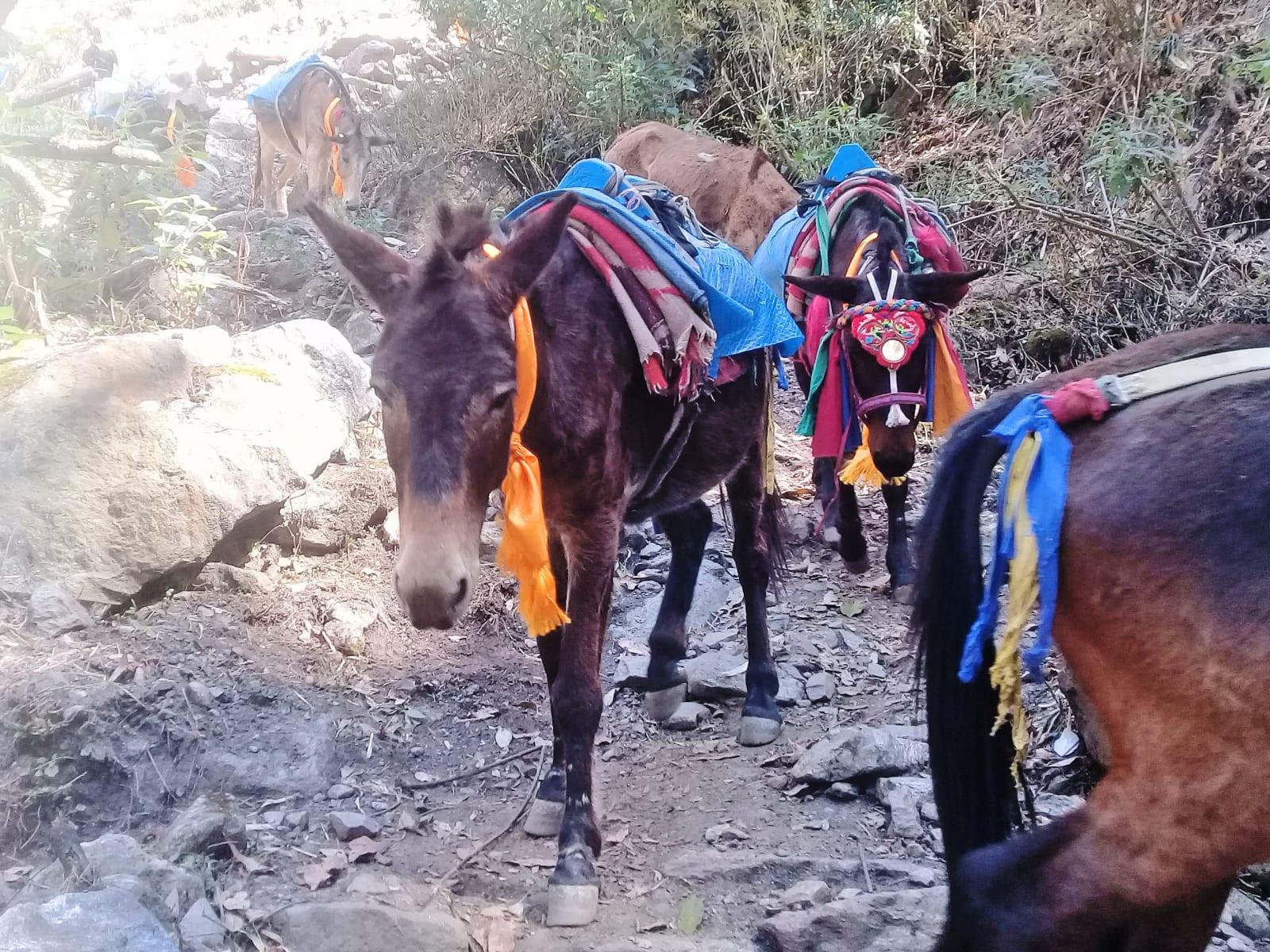 První-setkání-s-mulami-Nepál
