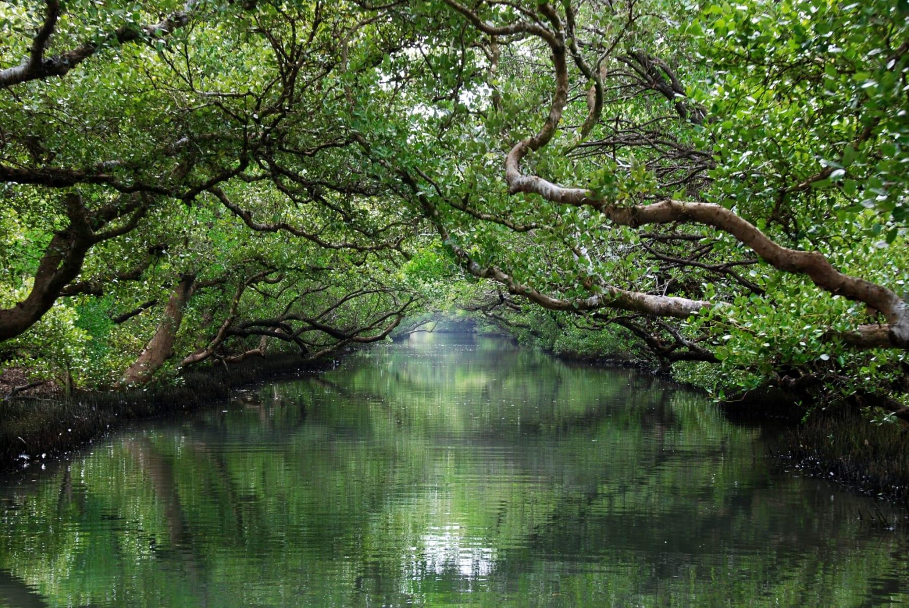 Mangrovníkový tunel v národním parku Taijiang, Tchaj-wan